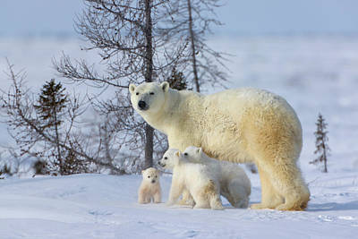 Mother Polar Bear With Three Cubs Poster by Keren Su
