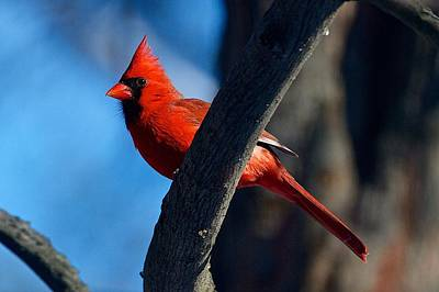Northern Cardinal Male Poster by Dan Ferrin