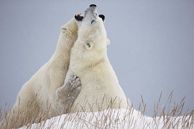 Polar Bears Play Fighting Along The Poster by Robert Postma