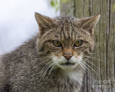 Scottish Wildcat Poster by Philip Pound