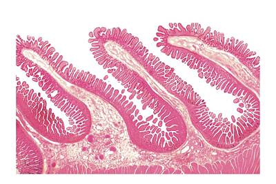 Structure Of Intestinal Tract Poster