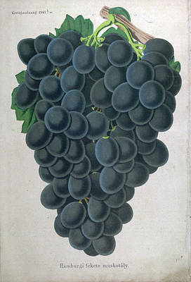 Wine Grapes, Vine, Agriculture, Fruit, Food And Drink Poster by English School