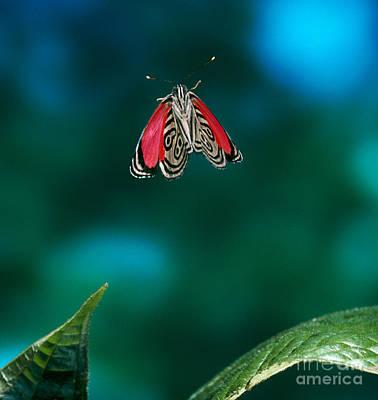 89 Butterfly In Flight Poster by Stephen Dalton