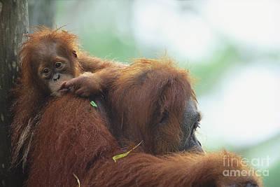Bornean Orangutan Poster by Art Wolfe
