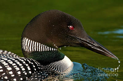 Common Loon Poster by Michael Cummings