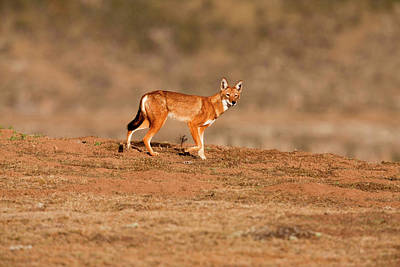 Ethiopian Wolf (canis Simensis Poster