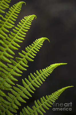 Forest Setting With Close-ups Of Ferns Poster by Jim Corwin