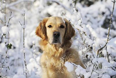 Golden Retriever In Snow Poster