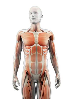 Human Muscular System Poster by Sebastian Kaulitzki