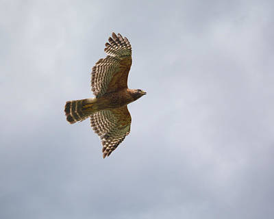 Red Shouldered Hawk In Flight Poster by Jai Johnson