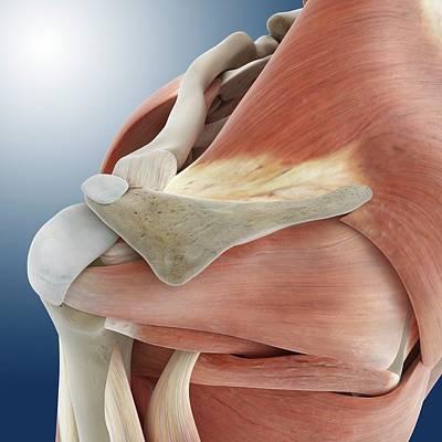 Shoulder Anatomy Poster by Springer Medizin