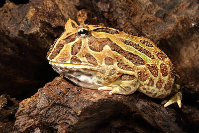 South American Horned Frog Poster by David Kenny