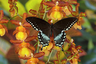 Spicebush Swallowtail, Papilio Troilus Poster by Darrell Gulin