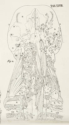 Anatomical Drawing Poster