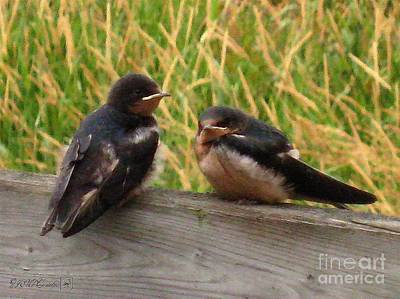 A Baby Barn Swallow Duo Waits Patiently For Lunch Poster by J McCombie