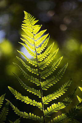 A Backlit Fern Frond  Northumberland Poster