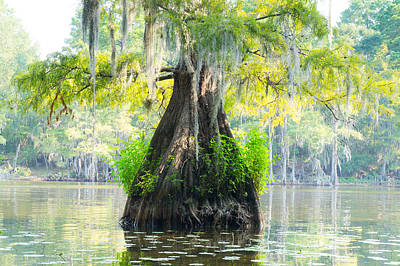 A Bald Cypress In Summer Colors Poster