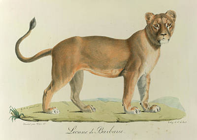A Barbary Lioness Poster