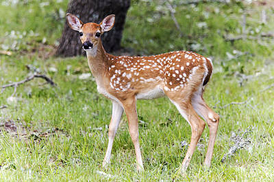 A Beautiful Fawn Poster