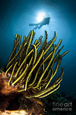 A Black And Yellow Crinoid With Diver Poster by Steve Jones