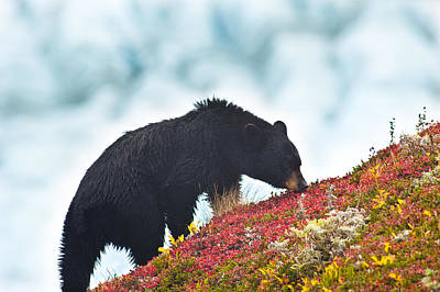A Black Bear Is Feeding On Berries On A Poster by Michael Jones