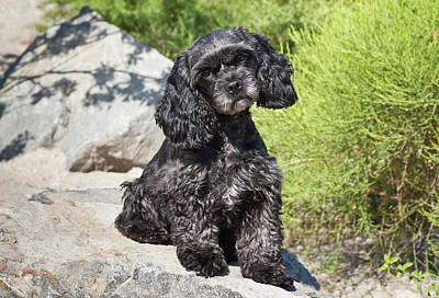 A Black Cockapoo Dog Sitting On Some Poster