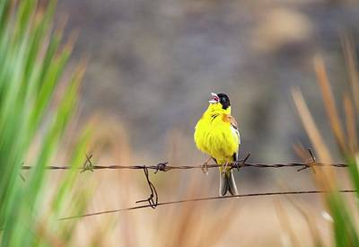 A Black Headed Bunting Poster by Ashley Cooper