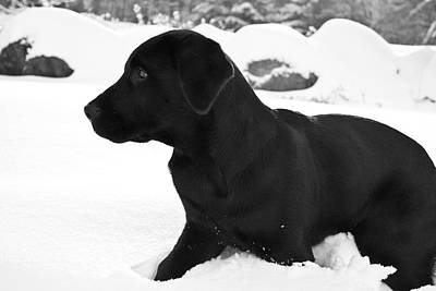 A Black Labrador Retriever Puppy Plays Poster