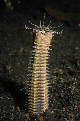 A Bobbit Worm In Its Burrow Poster by Scubazoo
