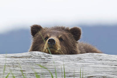 A Brown Bear Cub Rests Its Head On A Poster