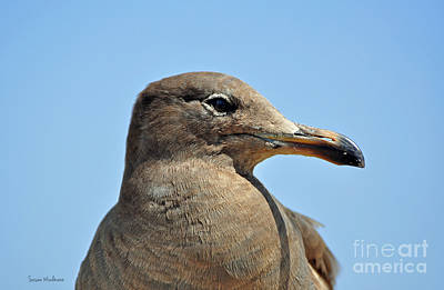 A Brown Gull In Profile Poster by Susan Wiedmann