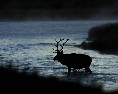 A Bull Elk Crosses The Madison In The Early Morning  Poster by Gary Langley