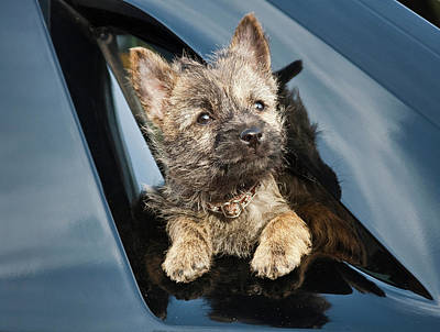 A Cairn Terrier Puppy Coming Poster by Zandria Muench Beraldo