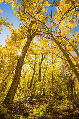 A Canopy Of Aspens At Mcgee Creek In The Eastern Sierras Poster