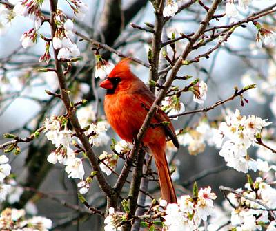 A Cardinal In The Apple Blossoms Poster