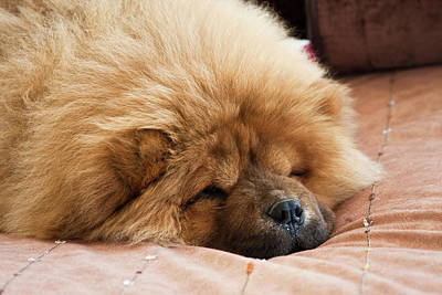 A Chow Chow Puppy Lying On A Tan Poster