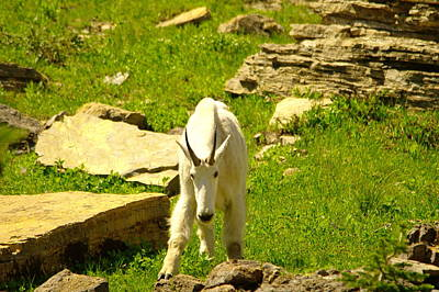 A Goat Coming Down The Trail Poster by Jeff Swan