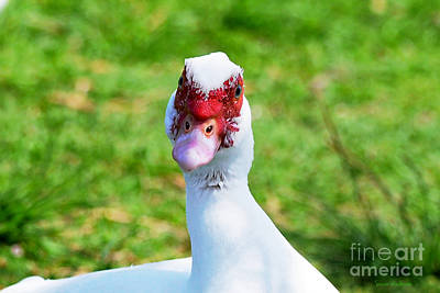Poster featuring the photograph A Curious Muscovy Duck  by Susan Wiedmann