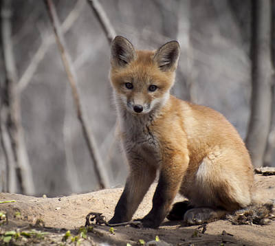 A Cute Kit Fox Portrait 1 Poster by Thomas Young