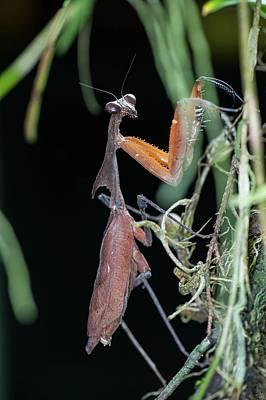 A Dead Leaf Mantis Poster by Scubazoo