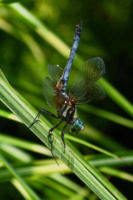 Poster featuring the photograph A Dragonfly by Raymond Salani III