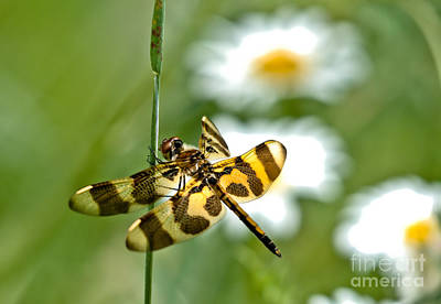 A Dragonfly's Life Poster by Cheryl Baxter