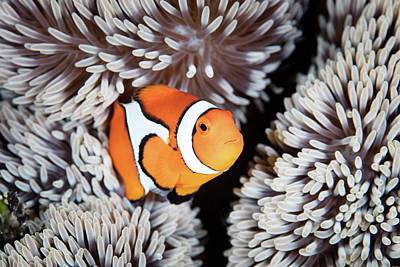 A False Anemonefish Amphiprion Poster