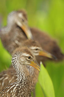 A Family Of Limpkin Chicks, Aramus Poster by Maresa Pryor