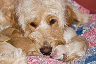 A Female Goldendoodle With Her Newborn Poster