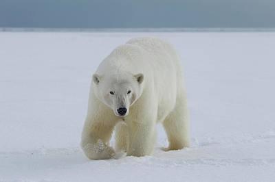 A Female Polar Bear Walks Poster by Hugh Rose