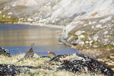A Female Ptarmigan With Young Poster by Ashley Cooper