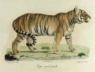 A Female Royal Tiger Poster