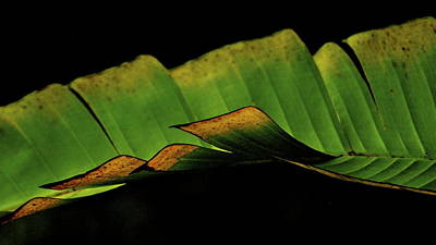 A Floating Heliconia Leaf Poster
