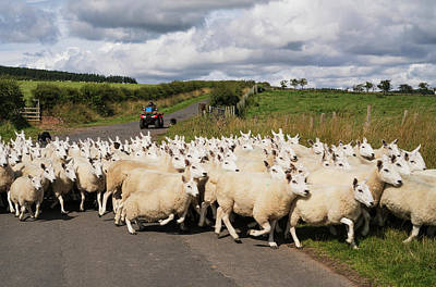 A Flock Of Sheep Cross A Road Poster by John Short